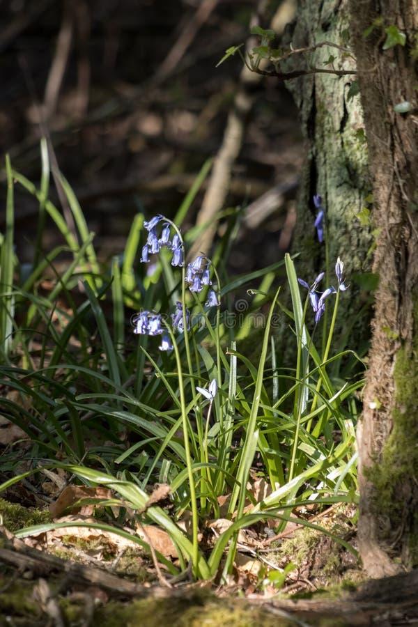 Golpe de Bluebells iluminado por el sol primaveral fotografía de archivo libre de regalías