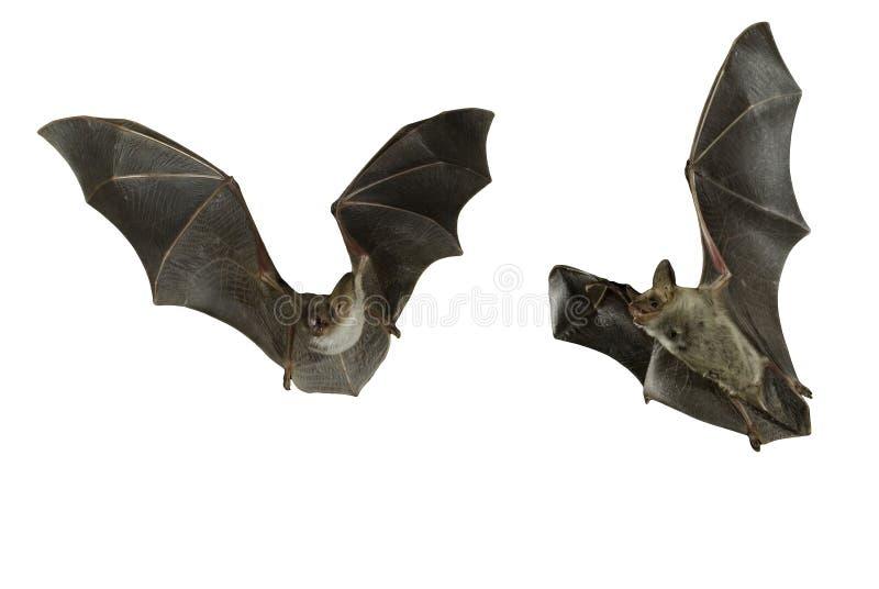 Golpee el halcón, myotis del myotis, volando con el fondo blanco imágenes de archivo libres de regalías