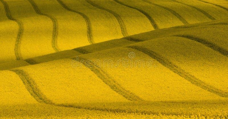 Golvend geel raapzaadgebied met strepen en golvend abstract landschapspatroon Corduroy de zomer landelijk landschap in gele tonen royalty-vrije stock afbeelding