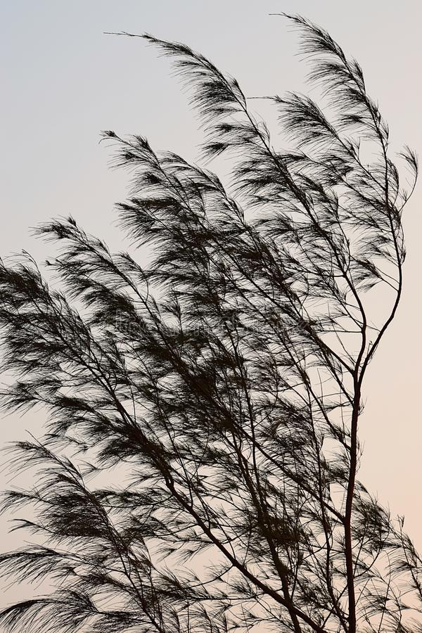 Golvende Bladeren in Wind - Casuarina-Boom - Abstract Ontwerp royalty-vrije stock foto's