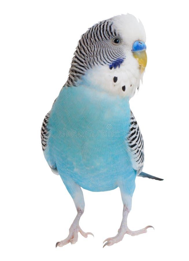 Golvende papegaai stock foto