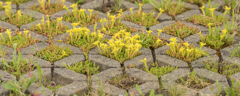 Goma de estonecropo amarillento. Nombre latino Acre de sedición foto de archivo