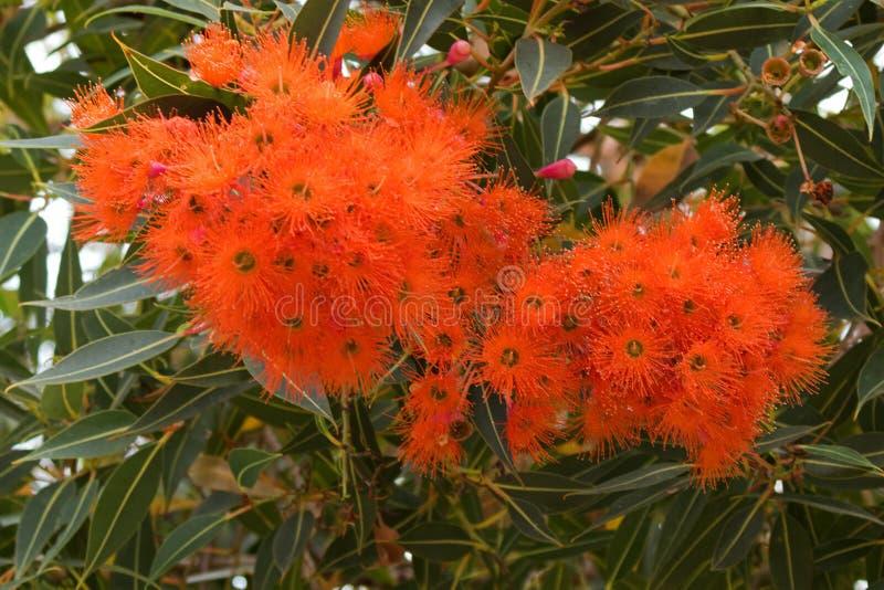 Goma de florescência vermelha de Albany que floresce durante o verão em Aus ocidental imagens de stock royalty free