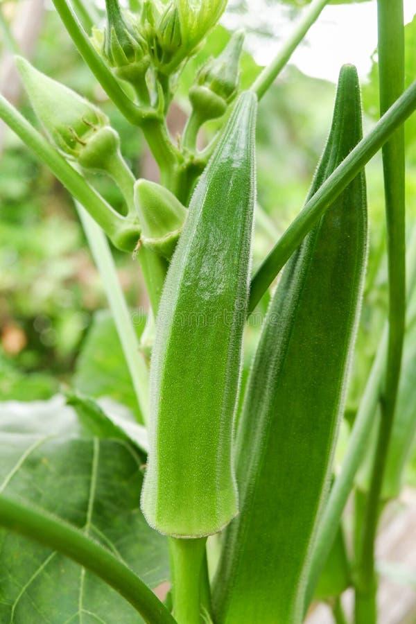 Gombo verde di rosella fotografie stock libere da diritti