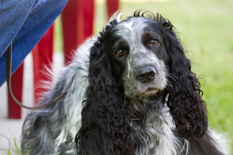 Gomel, Belarus - May 27: Exhibition of hunting dogs. competitions in conformation May 27, 2013 in Gomel, Belarus .. Gomel, Belarus - May 27: Exhibition of royalty free stock photos
