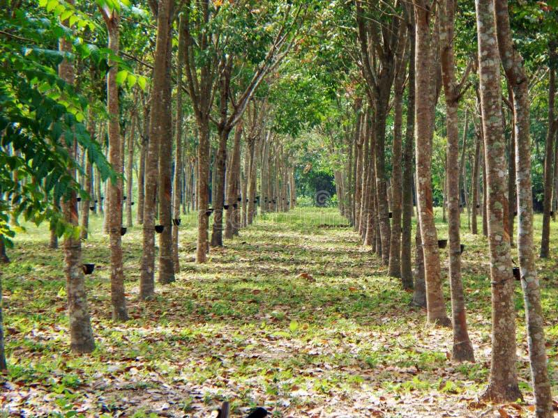 Gomma trees fotografia stock libera da diritti