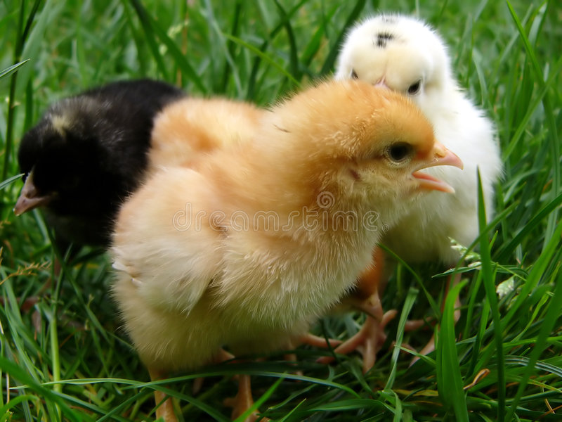 Gommagutta, bianchi e bl del pollo fotografia stock