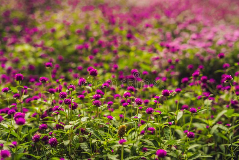Gomphrena globosa lub fajerwerku kwiat jesteśmy piękni różowi mali obraz royalty free