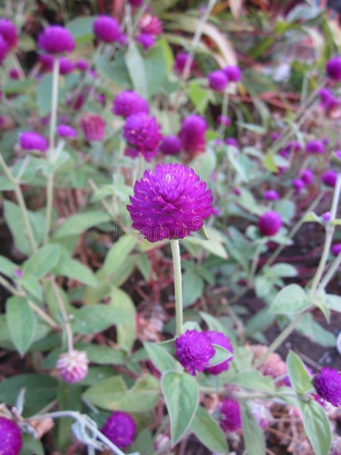 Gomphrena globosa or Pearly everlasting flower. Gomphrena globosa or Globe amaranth or Bachelor button or Button agaga or Gomphrena or Pearly everlasting flower stock photo
