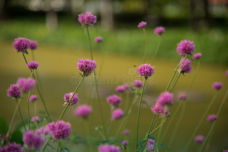 Gomphrenaglobosa of Vuurwerkbloem Violette bloem royalty-vrije stock foto's