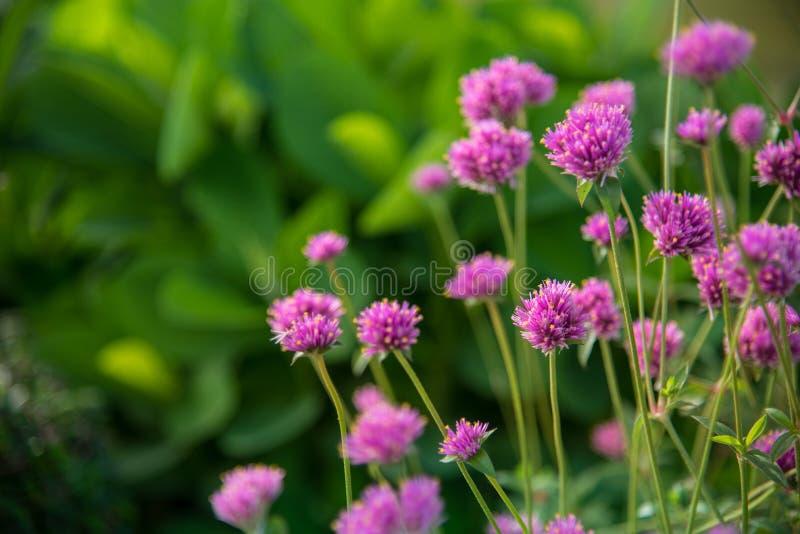 Gomphrenaglobosa of Vuurwerkbloem Violette bloem royalty-vrije stock afbeeldingen