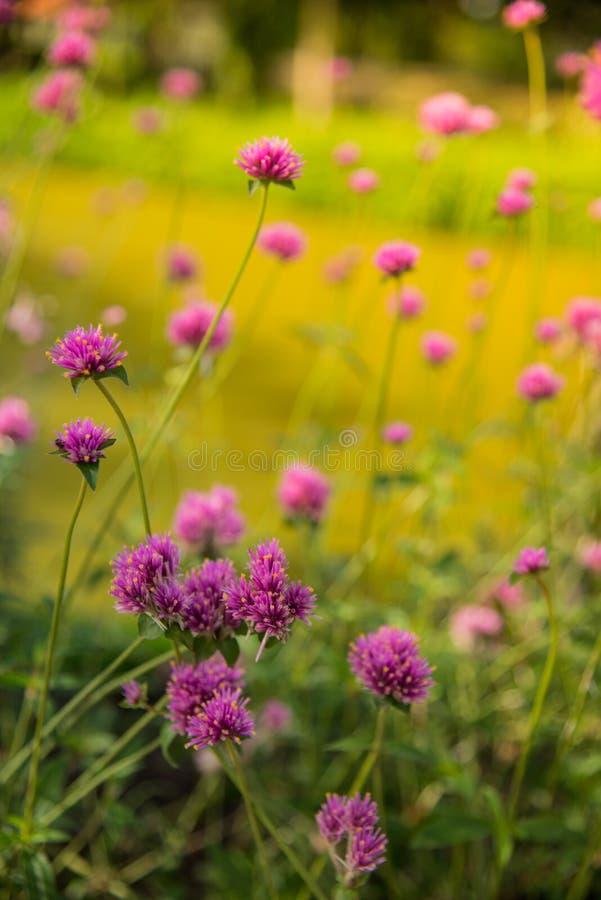 Gomphrenaglobosa of Vuurwerkbloem Violette bloem royalty-vrije stock fotografie