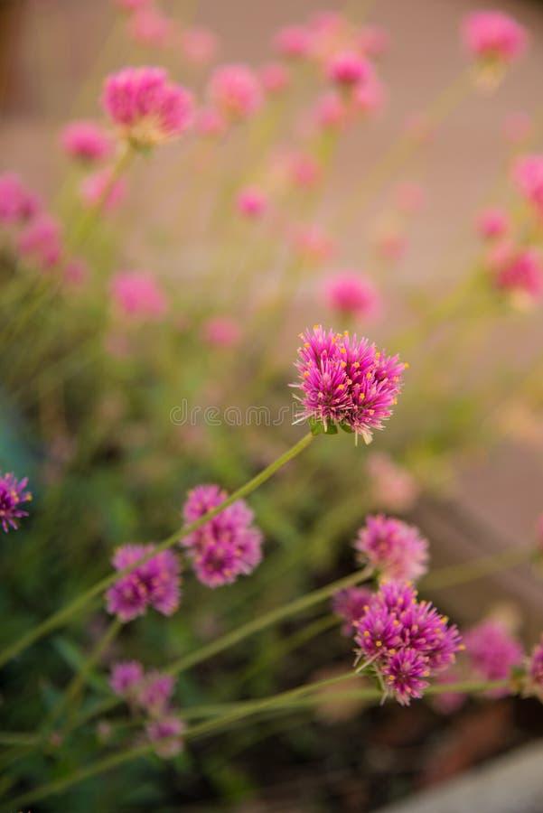 Gomphrenaglobosa of Vuurwerkbloem Violette bloem stock afbeeldingen