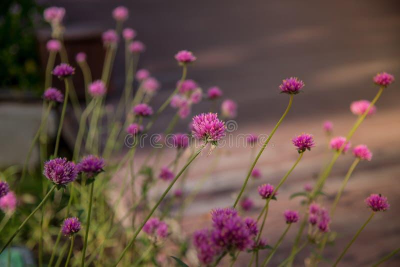 Gomphrenaglobosa of Vuurwerkbloem Violette bloem stock foto's
