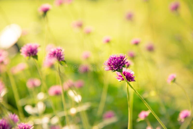 Gomphrenaglobosa of Vuurwerkbloem Violette bloem in het harde zonlicht royalty-vrije stock afbeelding