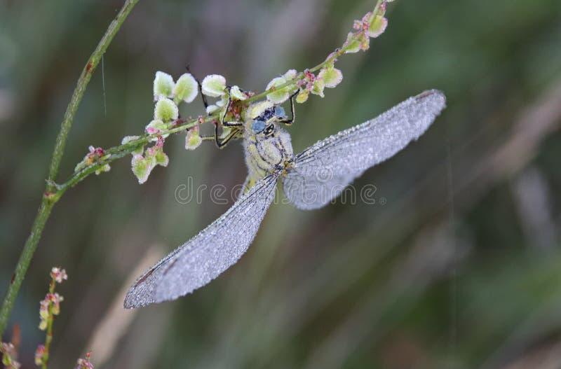 Gomphus pulchellus zachodni clubtail zdjęcie royalty free
