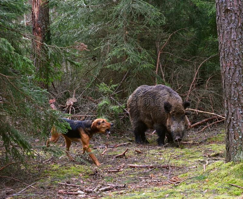 Hunting dog attack wild boar. Gonchak hound, a National dog breed of Belarus, hunting on wild boar in green forest royalty free stock photos