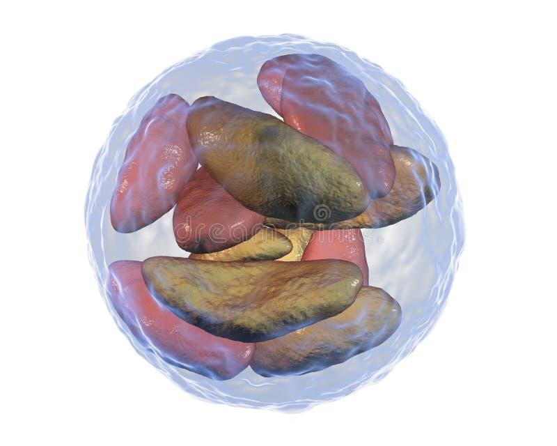 Gondii parasítico do Toxoplasma dos protozoários na fase dos bradyzoites dentro do quisto ilustração do vetor