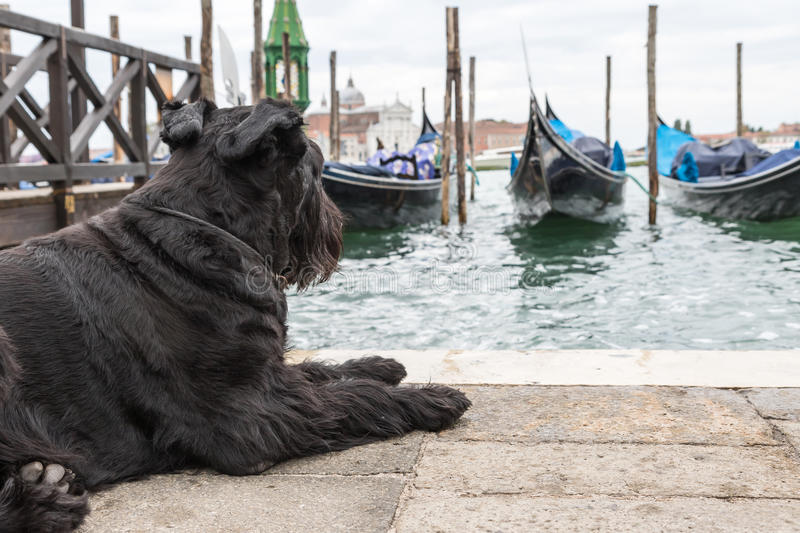 So those are the gondolas?. Giant Black Schnauzer is lying in front of gondolas in Venice (Piazza San Marco in Venice, Italy