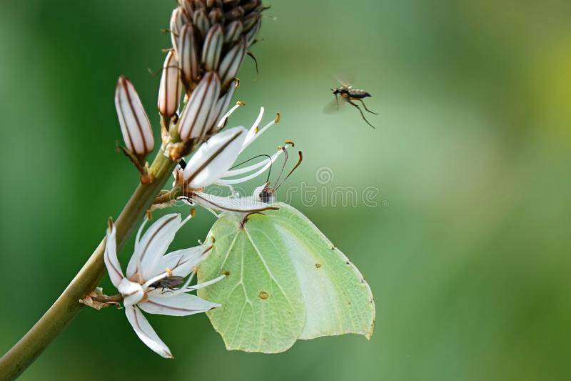 Gonepteryx cleopatra,close-up photo,spring. Gonepteryx Cleopatra Day Butterfly in Spring, Europe stock photo