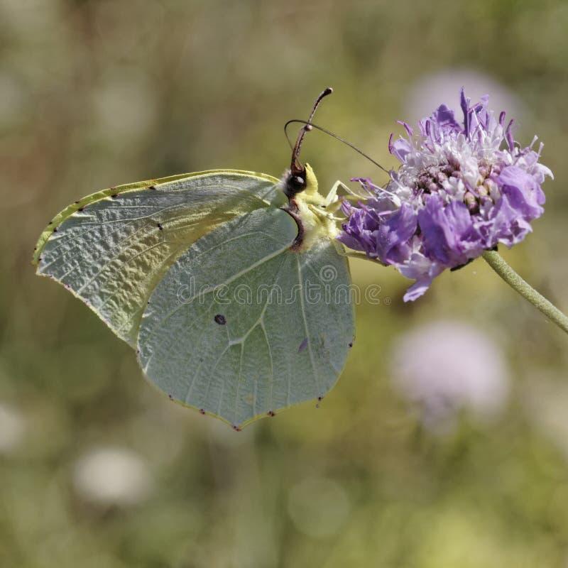 Gonepteryx Cleopatra, de vlinder van Cleopatra stock afbeelding
