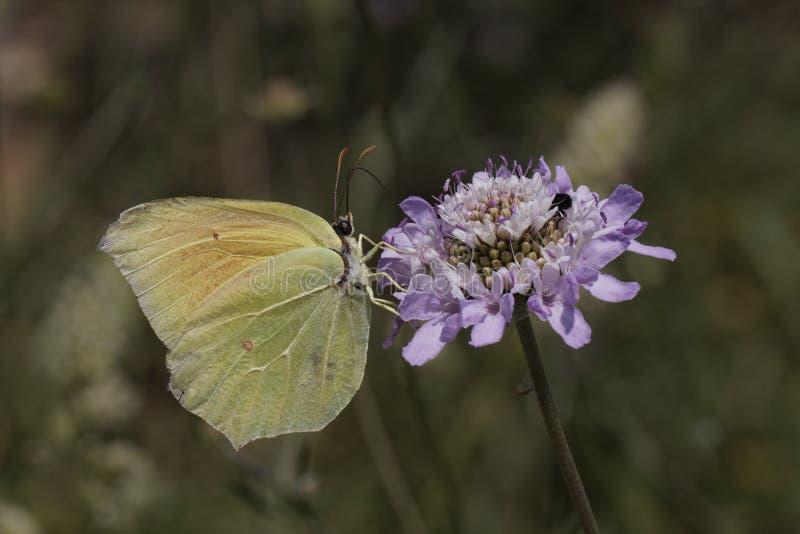 Gonepteryx Cleopatra, de vlinder van Cleopatra van Zuidelijk Frankrijk royalty-vrije stock foto
