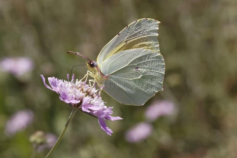 Gonepteryx Cleopatra, de vlinder van Cleopatra van Zuidelijk Frankrijk stock afbeeldingen