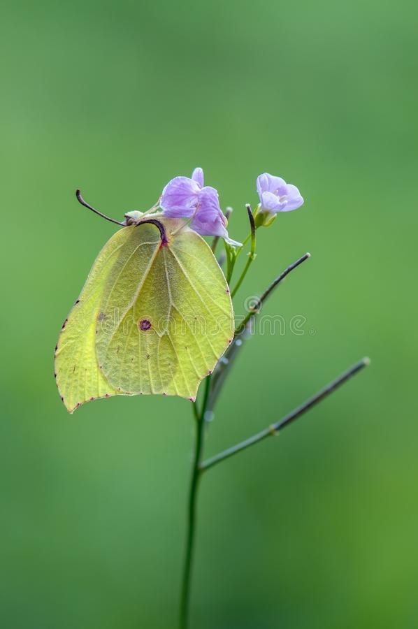 Gonepteryx rhamni是一只昼夜蝴蝶 免版税库存图片