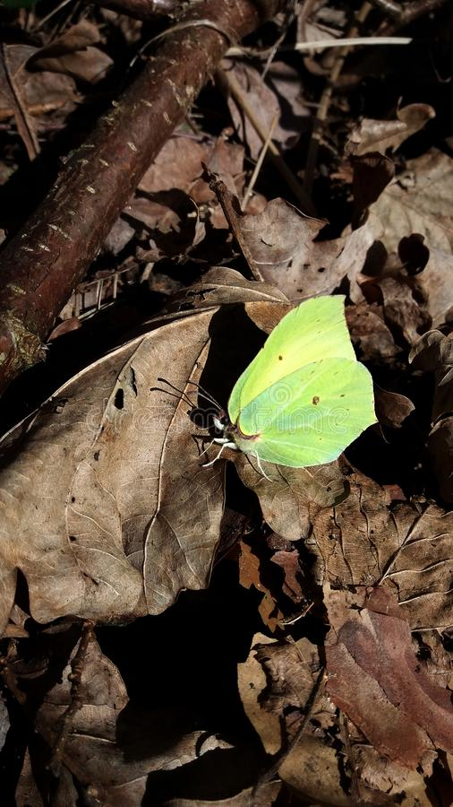 Gonepteryx rhamni,蝴蝶柠檬色柠檬褐色干燥死的叶子森林 免版税库存图片