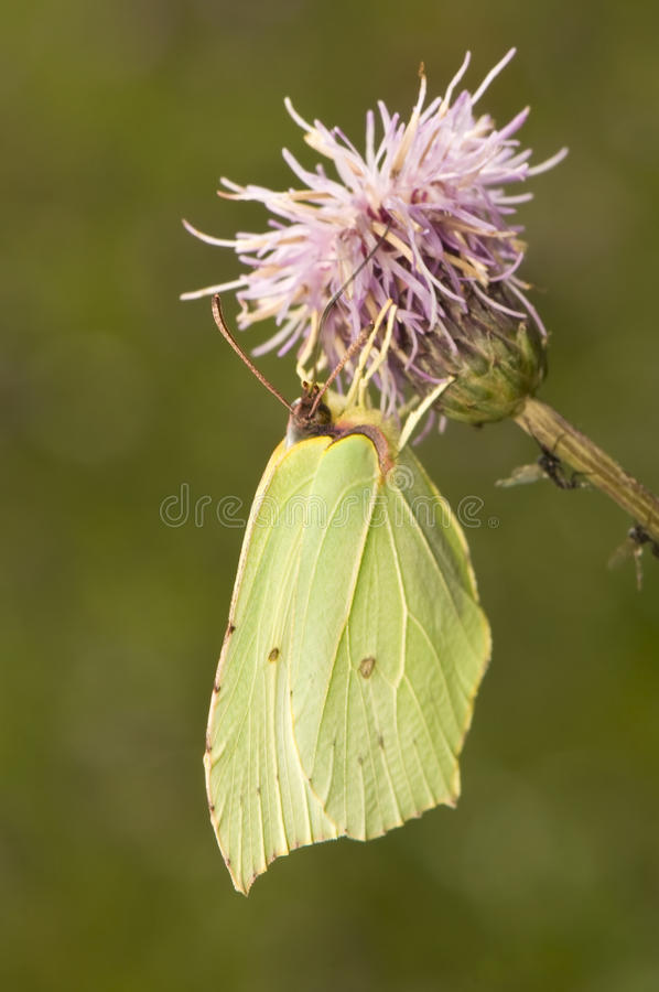 Gonepteryx rhamni. Beautiful yellow butterfly on a purple flower stock photos