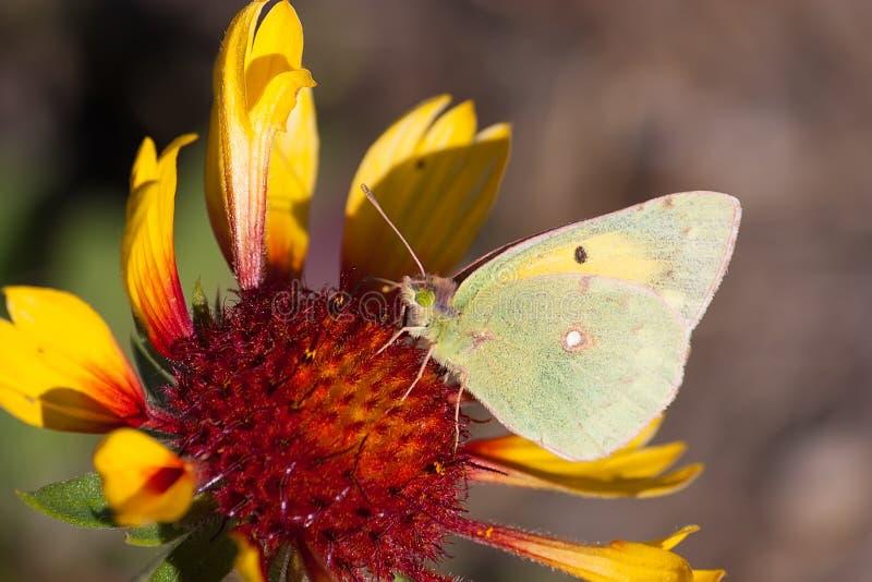 Gonepteryx rhamni. Brimstone butterfly; Gonepteryx rhamni; sucking nectar on the blossom stock images