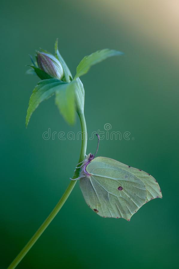 Gonepteryx rhamni butterfly. Imitators of leaves, as they have a similarity in shape, color and pattern with leaves royalty free stock photos