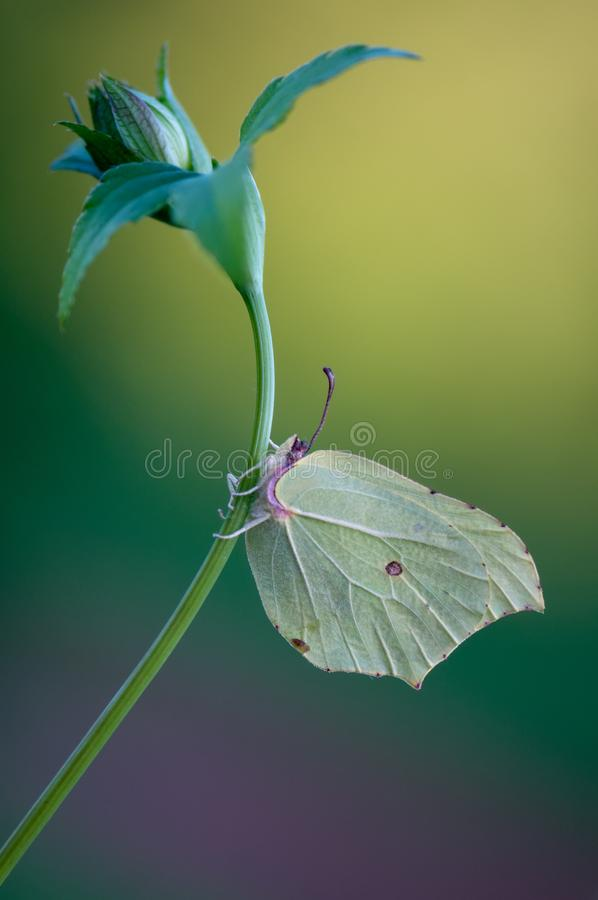 Gonepteryx rhamni butterfly imitators of leaves. As they have a similarity in shape, color and pattern with leaves stock images