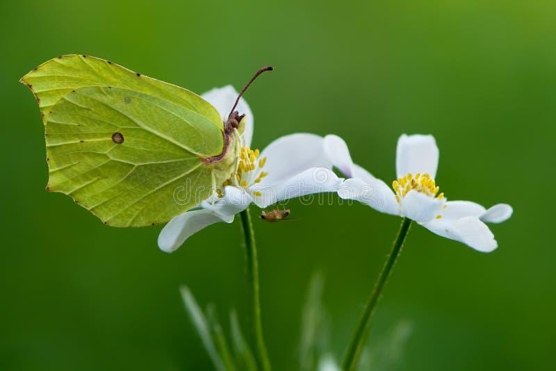 Gonepteryx rhamni butterfly, on white flower Anemóne. Butterfly Gonepteryx rhamni, on the white flower Anemóne, nature summer butterfly forest flower royalty free stock photography