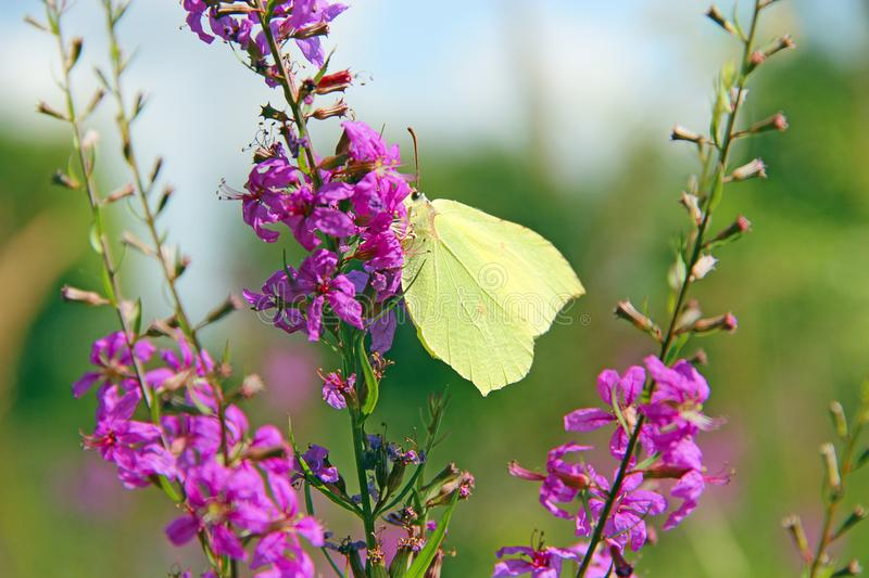 Gonepteryx rhamni collecting nectar from flowers of Chamaenerion angustifolium. Butterfly of Gonepteryx rhamni collecting nectar from flowers of Chamaenerion stock photo