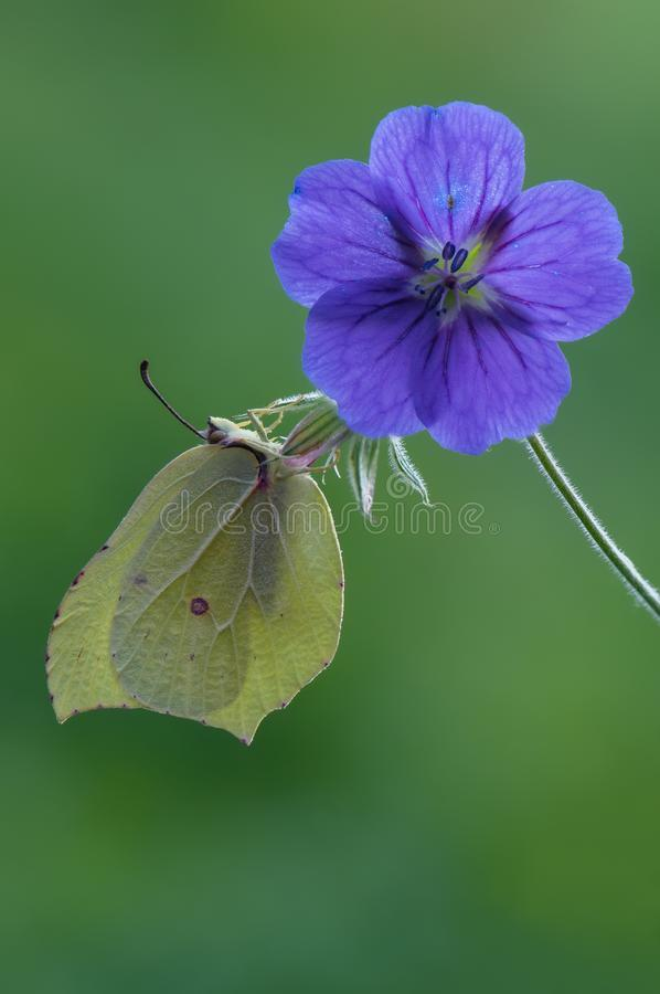 Gonepteryx rhamni on a forest geranium flower. Gonepteryx rhamni is a diurnal butterfly from the Pieridae family on a forest geranium flower. One of the most stock photo