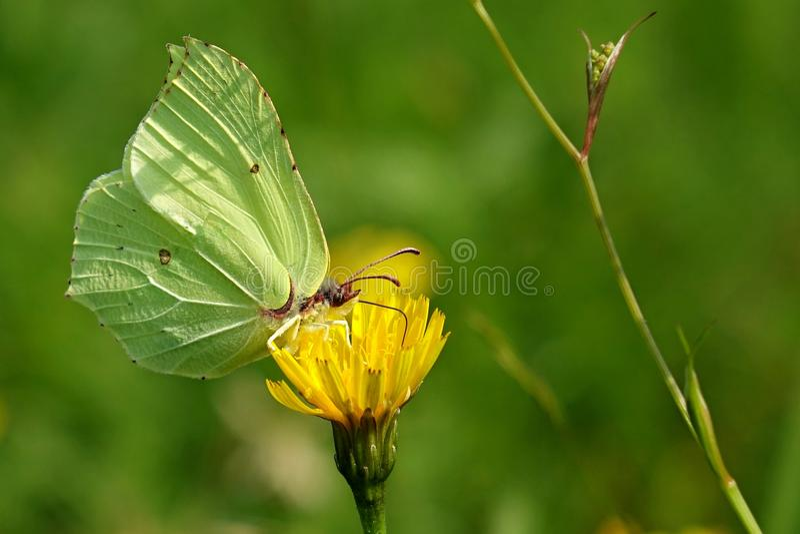 Gonepteryx rhamni. Daily European butterfly stock photo