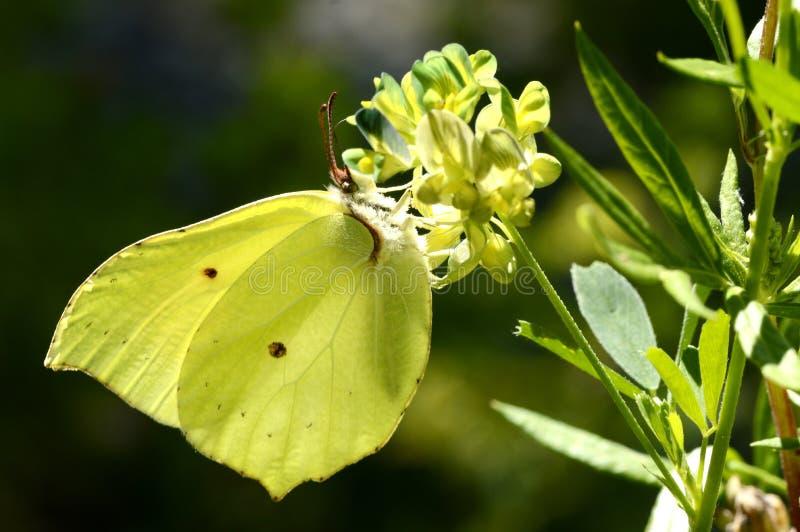 Gonepteryx-Schmetterling auf einer Blume stockfoto