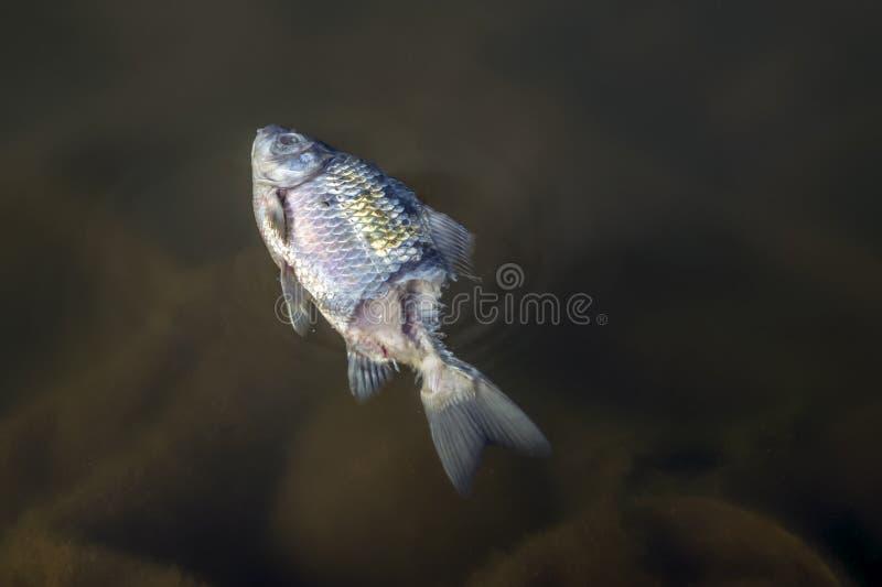 Gonfiati, i morti, pesce avvelenato si trovano sulla sponda del fiume Inquinamento ambientale fotografia stock