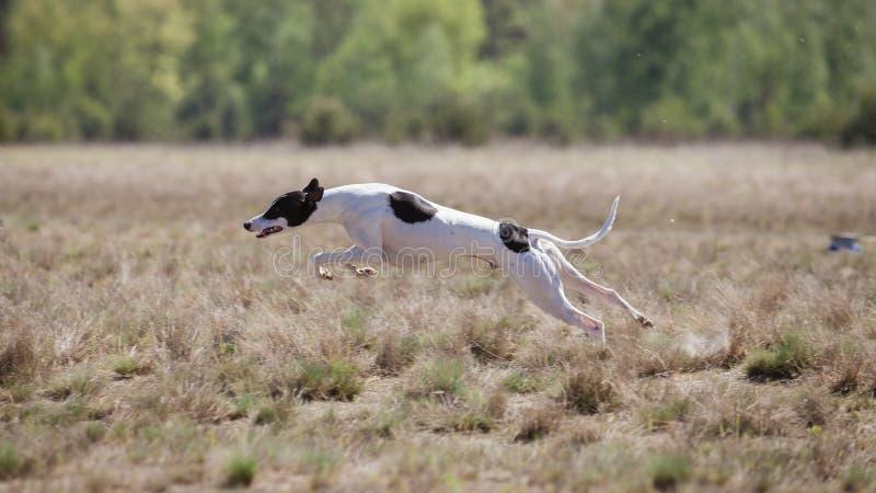 Goniący szkolenie Whippet psa bieg na polu fotografia stock