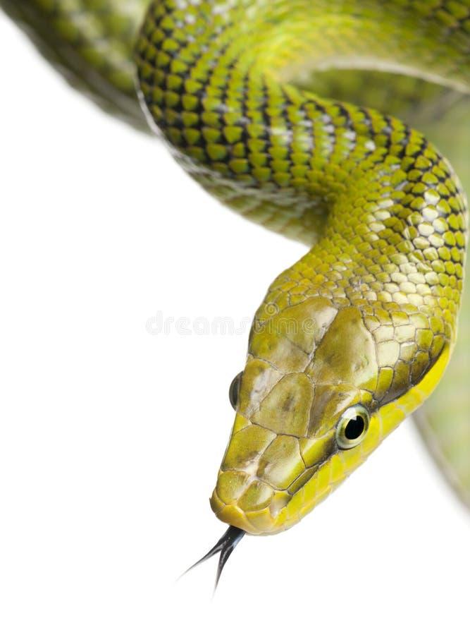 gonyosoma κόκκινο oxycephalum ratsnake που παρακολουθείται πράσινο στοκ φωτογραφία με δικαίωμα ελεύθερης χρήσης
