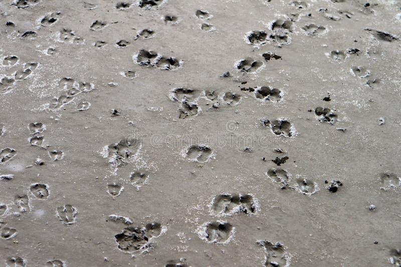 Gooat kroczy odciski stopy na błocie fotografia royalty free