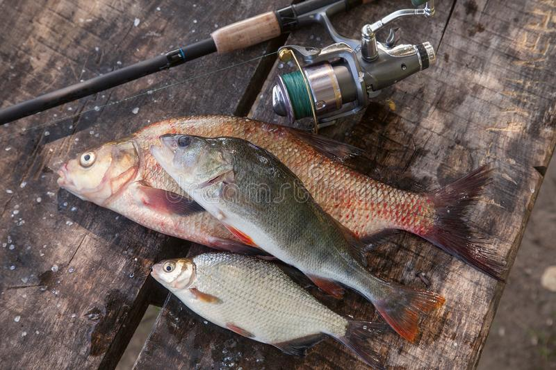 Big freshwater bronze bream or carp bream, white bream or silver bream, perch and fishing rod with reel on vintage wooden royalty free stock photo