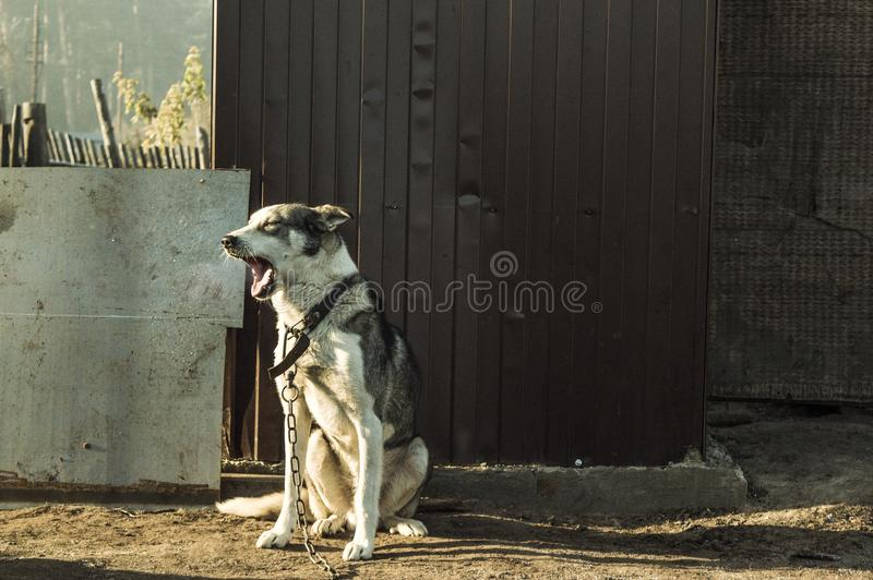 Good dog yawns in the morning. Steam comes from the mouth stock image