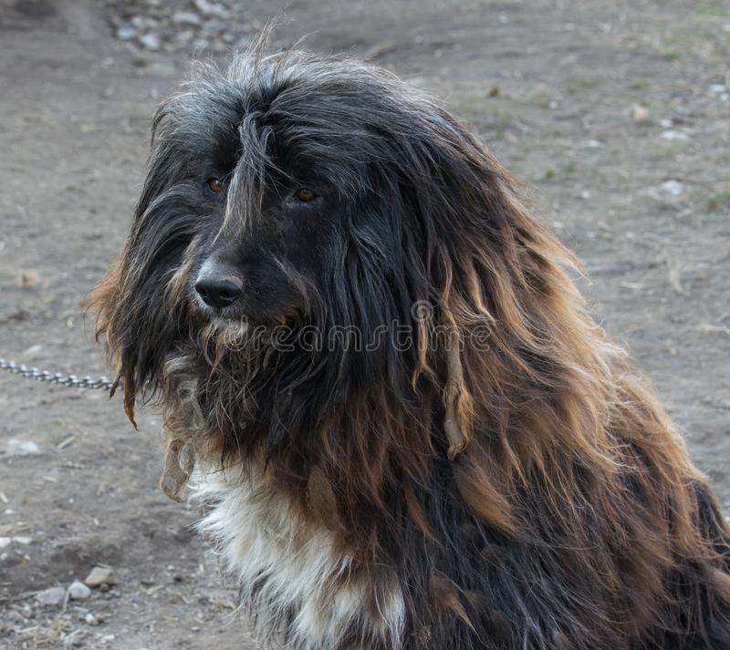 Good domestic Bearded Collie dog sits and carefully looks into the distance royalty free stock photography
