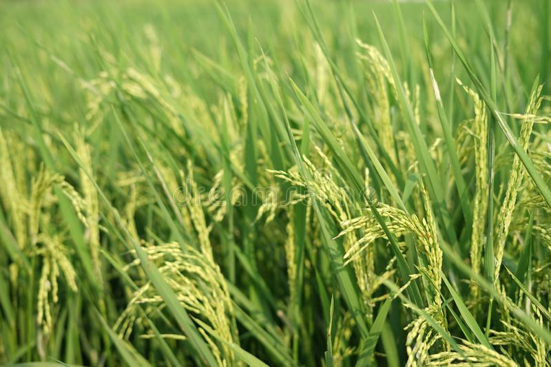 Yellowing rice in fields royalty free stock photos