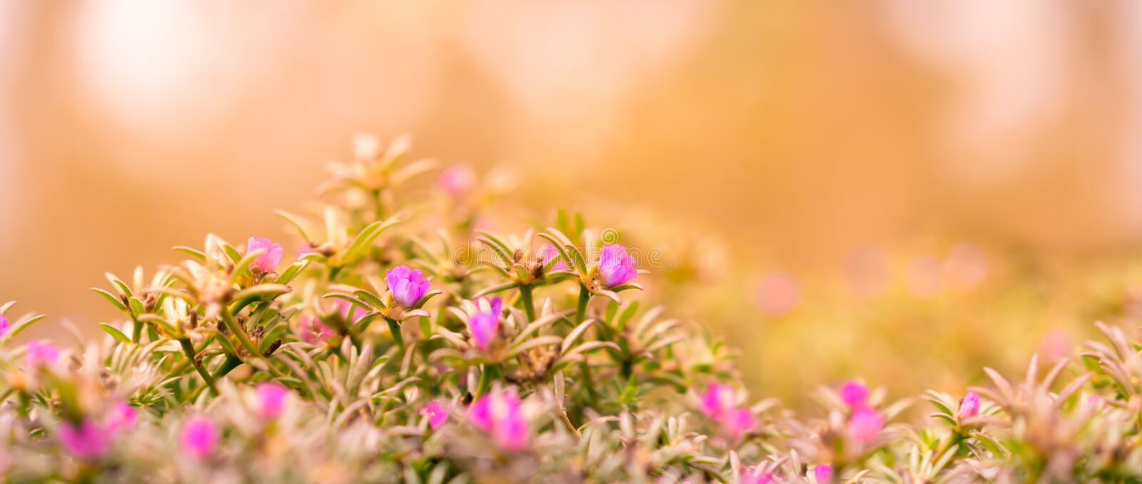 Good Morning Banner Background. With pink Portulaca flowers and yellow and orange tones royalty free stock images