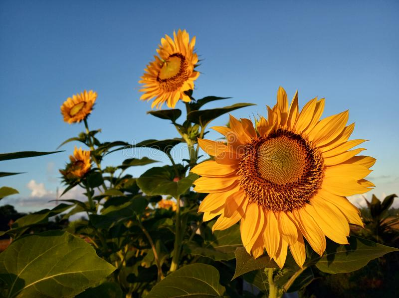 Good Morning. Beautiful sunflowers in the garden under clean blue sky in the morning welcoming new day, new hope. Life is so. Beautiful. Summer season, design stock photography