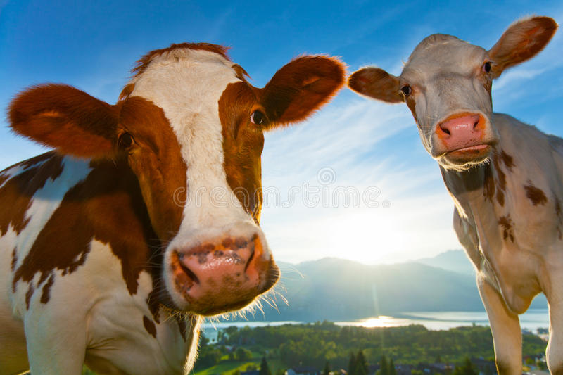 Good morning cow royalty free stock images