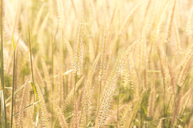 Good morning with golden light. Good morning with golden light and grass swaying in the summer, abstract background stock image